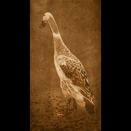 Silver Indian Runner Duck, Streicher